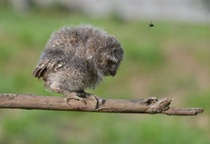 The owl bent back. Standing on the branches, as if upon pecked insects stock images