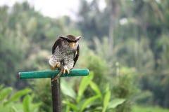 Owl. Big Owl Bird with an sharp eye Stock Photos