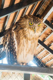 Owl with a big eye Stock Images