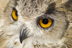 Owl with big orange eyes Stock Image