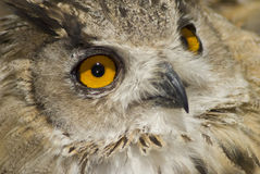 Owl with big orange eyes Stock Photography