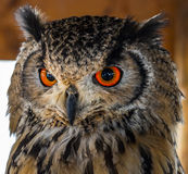 Owl with Big Red Eyes. Red Orange Colored Eyes give an Owl a Powerful Look stock photography