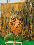 Owl. Royalty Free Stock Images