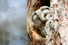 Owl with big yellow eyes peeking out of the hollow royalty free stock images