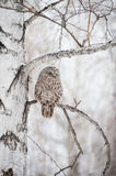Owl on a birch Stock Images