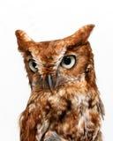 Owl bird. Portrait of owl bird with white background Stock Photo