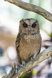 Owl bird Royalty Free Stock Image