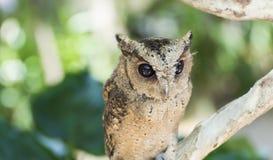 Owl bird Stock Photography