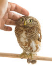 Owl bird (Asian Barred Owlet) Royalty Free Stock Image