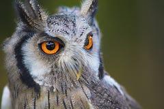 Owl, Bird, Beak, Bird Of Prey Royalty Free Stock Photos