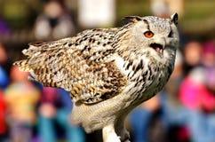 Owl, Bird, Beak, Fauna royalty free stock photo