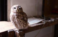 Owl, Bird, Bird Of Prey, Beak Royalty Free Stock Photo
