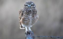 Owl, Bird, Bird Of Prey, Fauna Royalty Free Stock Images