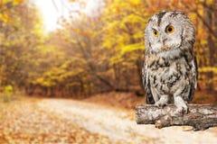 Owl bird Royalty Free Stock Photos