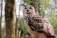 Owl, Bird, Fauna, Bird Of Prey Royalty Free Stock Photos