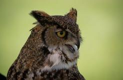 Owl Bird Horned da rapina Imagens de Stock Royalty Free