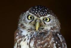 Owl Bird Perla-manchado Imagen de archivo