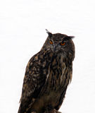 Owl bird of prey Stock Image