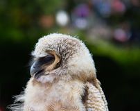 Owl bird of prey against blurred background close-up Stock Photo