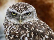 Owl, Bird Of Prey, Bird, Beak Royalty Free Stock Image