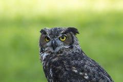 Owl. (bird of prey) in Montebello Park, Québec, Canada Royalty Free Stock Photography