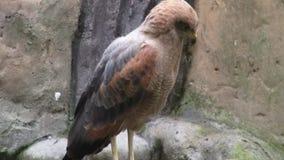 Owl, Birds of Prey, Animals, Wildlife, Nature stock footage
