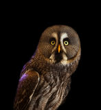 Owl on black Stock Photography