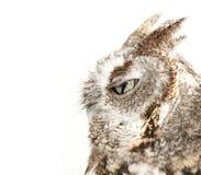 Owl blinking on white background. Studio portrait of a wild owl blinking on white background Stock Photo