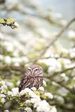 Owl in blooming tree Stock Images