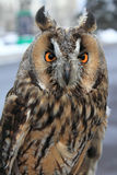 Owl on blurry background Stock Images