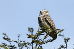 Owl on branch Royalty Free Stock Images