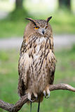 Owl on a branch. On a background of green foliage Stock Images