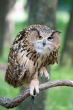 Owl on a branch. On a background of green foliage Royalty Free Stock Photos