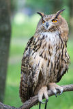 Owl on a branch. On a background of green foliage Stock Photography