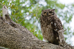 Owl on Branch Royalty Free Stock Image