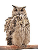Owl on a branch Stock Photos