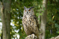Owl on branch Stock Photography