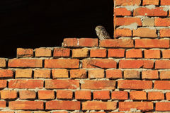 Owl on a brick wall royalty free stock photos