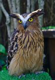 Owl in brown and black color stock photos