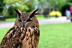 Owl. Brown feathers on a background of green grass, big, brown eyes, nocturnal bird, predator, good ears, big ears Stock Photos
