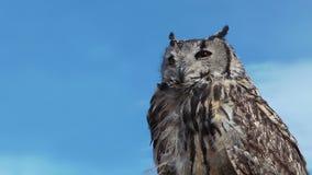 Owl Bubo Bengalensis tourne la tête banque de vidéos
