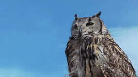 Owl Bubo Bengalensis is turning head. stock video footage