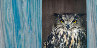 Owl bubo. On a blue background, board for the text stock images