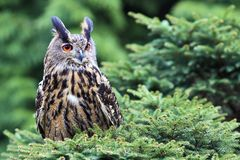 Owl (bubo bubo) Stock Photography