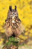 Owl(bubo bubo) Royalty Free Stock Image
