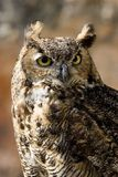 Owl, Bubo bubo. Wild bird, Owl, Bubo bubo, bird of prey, wildlife Stock Photo