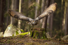 Flying bubo bubo. Owl (bubo bubo) taking off the stump in the dark forest Stock Photo