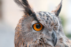 The owl - Buho real Stock Images