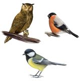 Owl, Bullfinch, and Tit Royalty Free Stock Photo