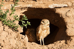Owl At Burrow Entrance Royalty Free Stock Photos